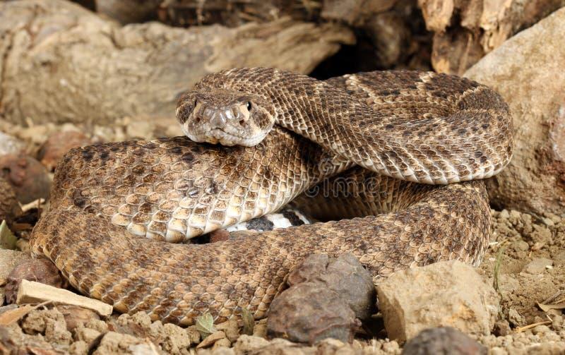 Serpiente de cascabel de Diamondback occidental fotos de archivo