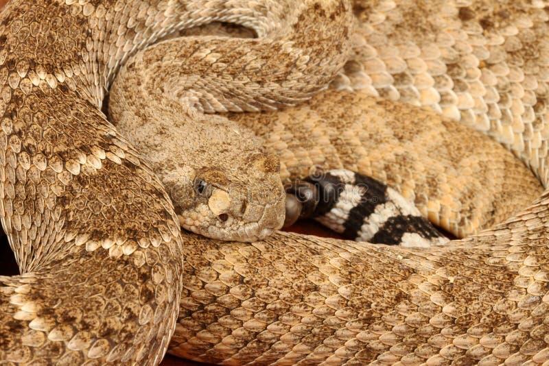 Serpiente de cascabel de Diamondback occidental imagen de archivo