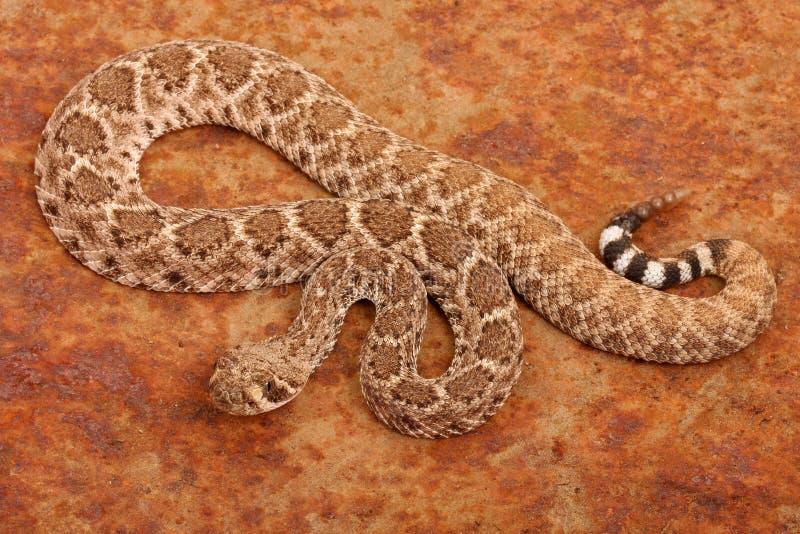 Serpiente de cascabel de Diamondback occidental. fotografía de archivo