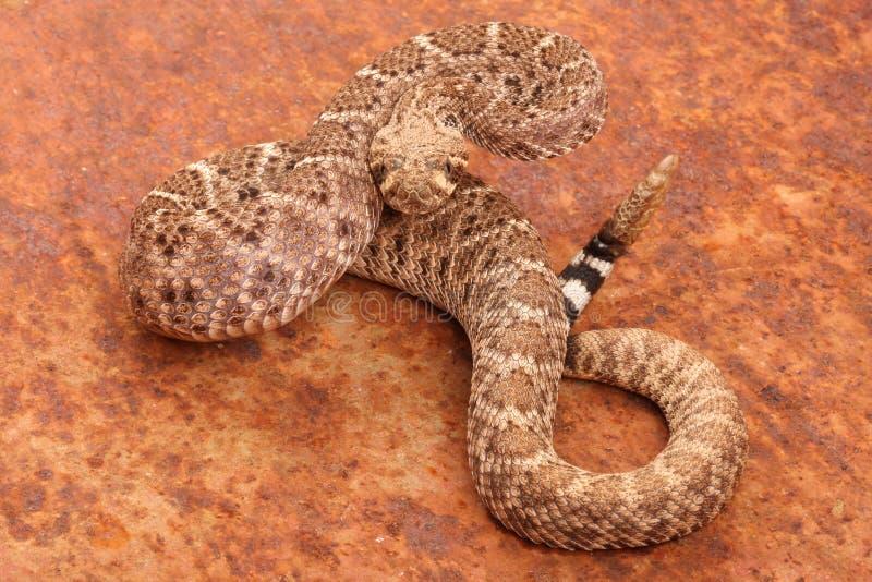 Serpiente de cascabel de Diamondback occidental. fotografía de archivo libre de regalías