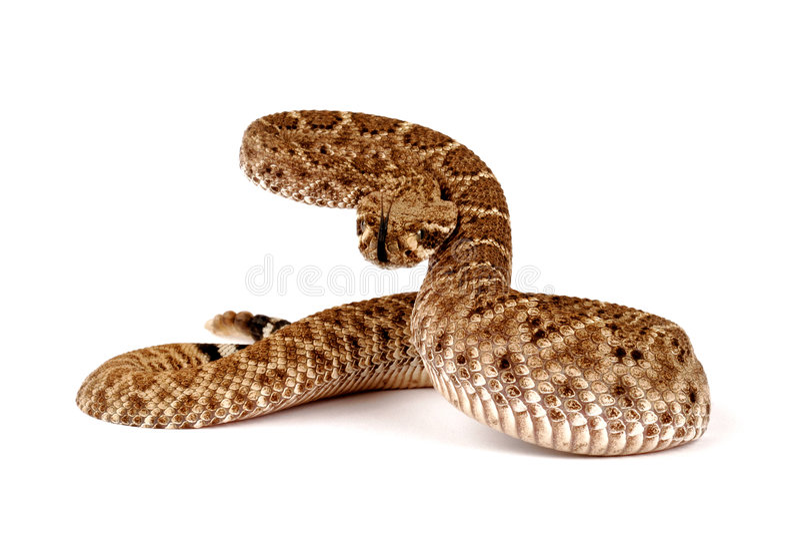 Serpiente de cascabel de Diamondback occidental (atrox del Crotalus). foto de archivo libre de regalías