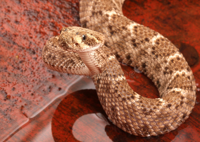 Serpiente de cascabel de Diamondback occidental (atrox del Crotalus). imagen de archivo libre de regalías