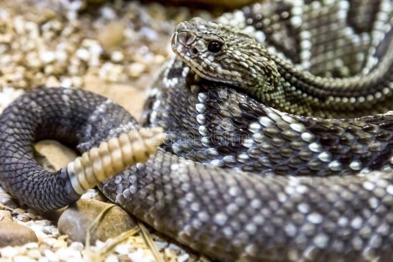 Serpiente de cascabel - durissus del Crotalus, venenoso peligros fotos de archivo libres de regalías