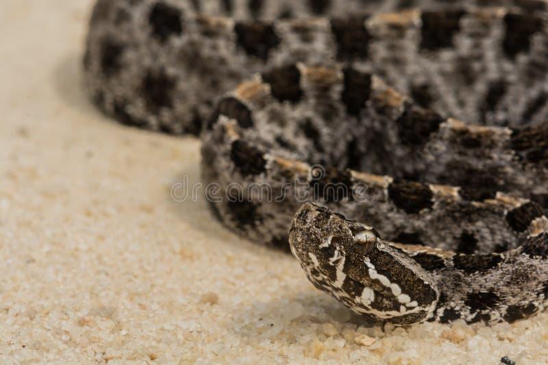 Serpiente de cascabel enana fotos de archivo