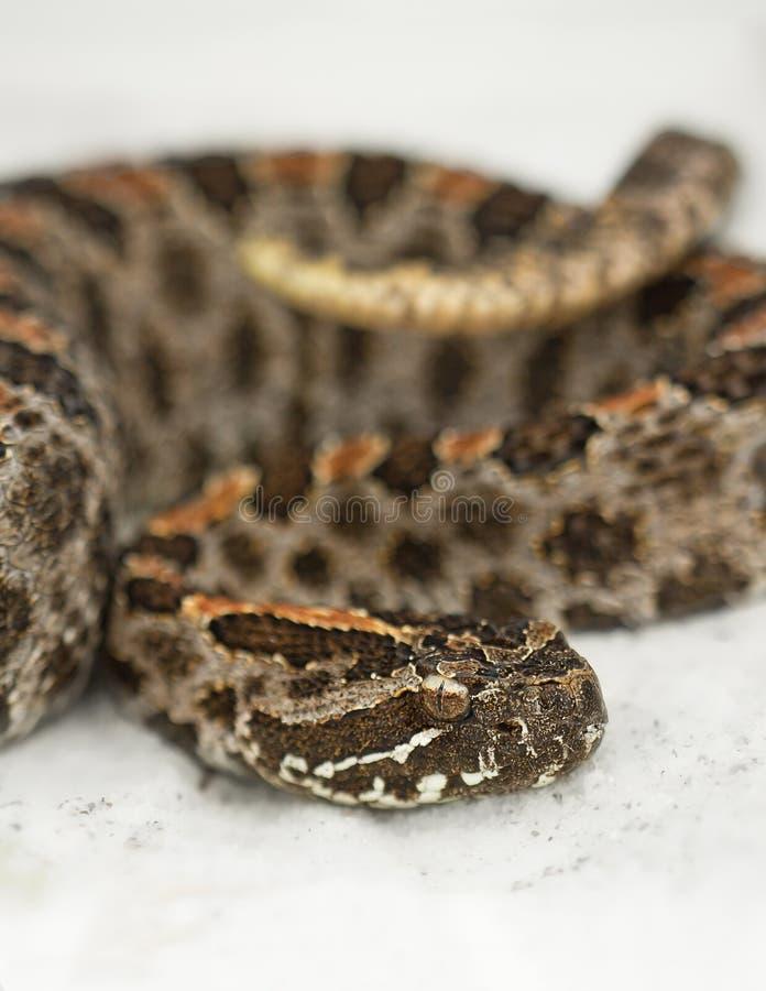 Serpiente de cascabel enana oscura (barbouri del miliarius del Sistrurus) fotografía de archivo libre de regalías