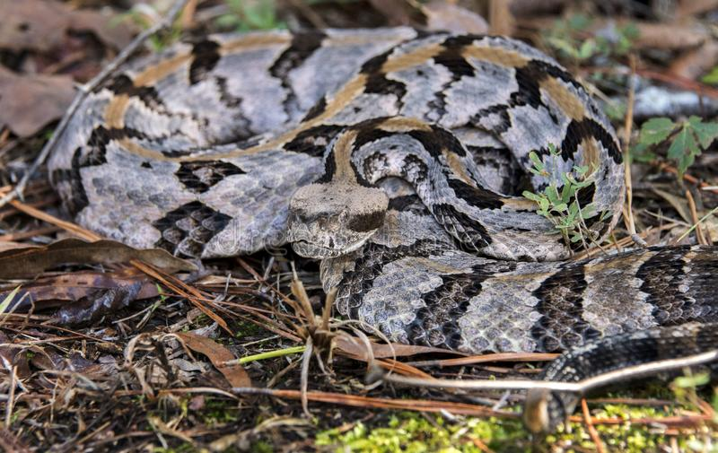Serpiente de cascabel de madera, el condado de Greene, Georgia los E.E.U.U. foto de archivo