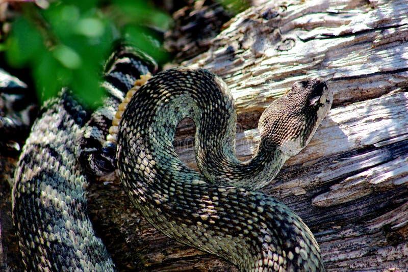 Serpiente de cascabel pacífica septentrional del baño de Sun, el condado de Siskiyou, California septentrional, los E.E.U.U. imágenes de archivo libres de regalías