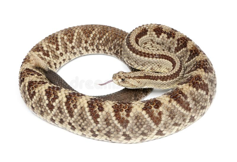 Serpiente de cascabel suramericana - durissus del Crotalus, venenoso, pizca imágenes de archivo libres de regalías
