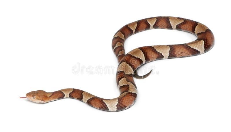 Serpiente de Copperhead o mocasín de la montaña fotografía de archivo