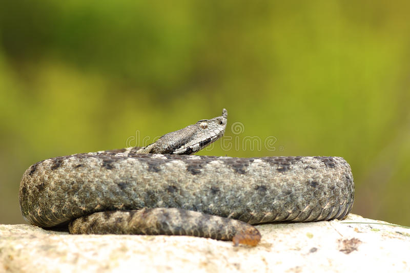 Serpiente de cuernos de la nariz masculina grande imagen de archivo