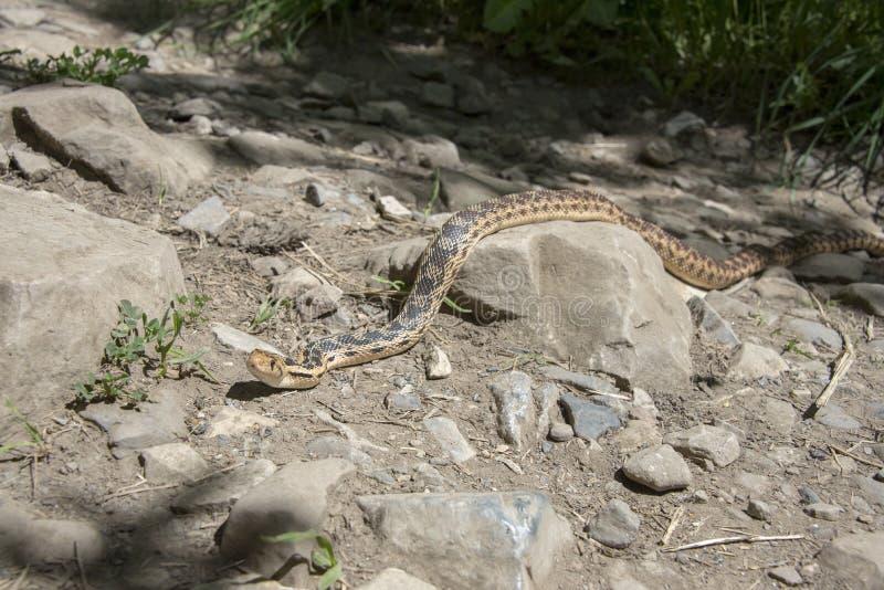 Serpiente de Gopher que se arrastra a través de una roca fotografía de archivo