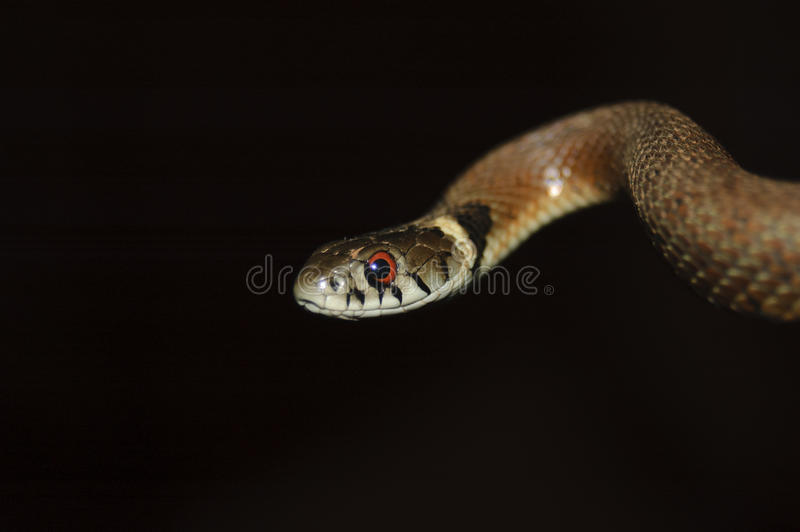 Serpiente de hierba fotografía de archivo libre de regalías