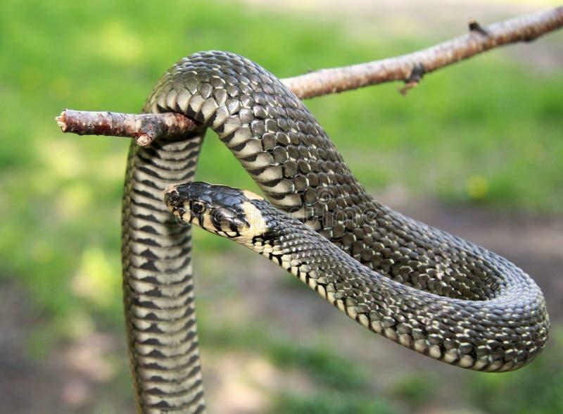 Serpiente de hierba en la ramificación fotografía de archivo libre de regalías