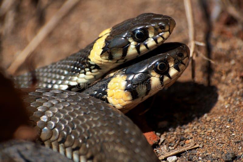 Serpiente de hierba, lat Natrix del Natrix Serpientes, el primer día de actividad después de la hibernación Habitat natural fotos de archivo libres de regalías