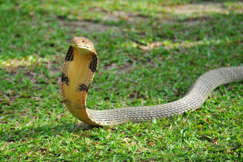 Serpiente de la cobra foto de archivo