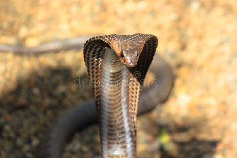 Serpiente de la cobra en la India imagen de archivo