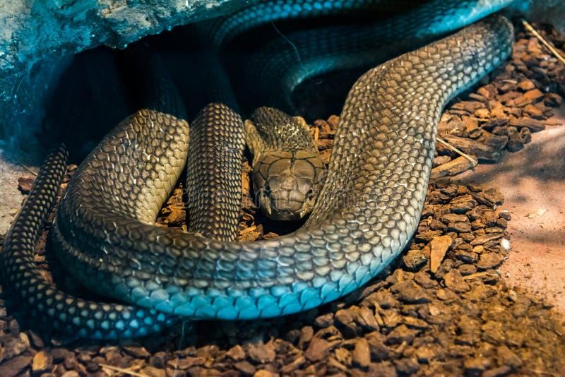 Serpiente de la cobra real en la selva imágenes de archivo libres de regalías