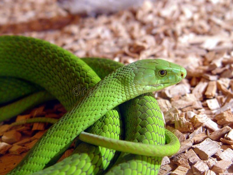 Serpiente de la mamba verde fotos de archivo