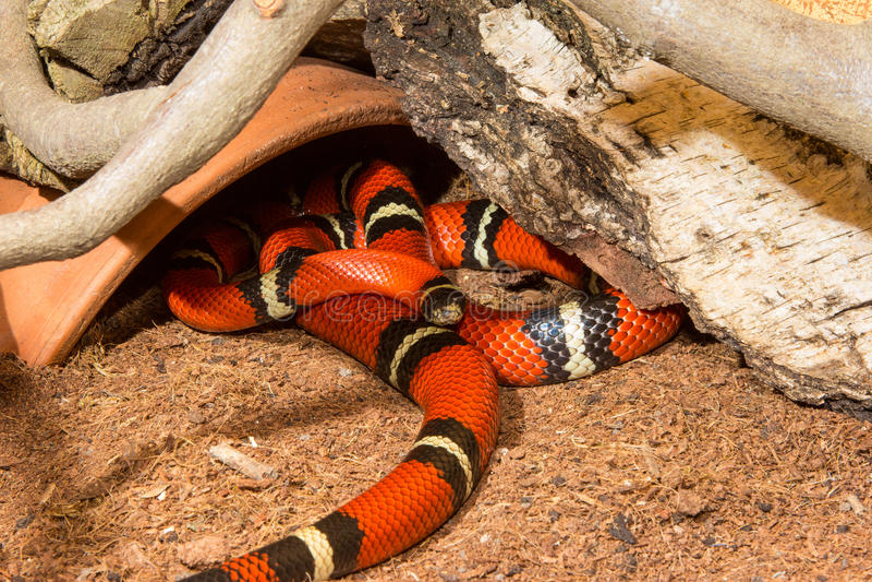 Serpiente de leche de Sinaloan imagen de archivo