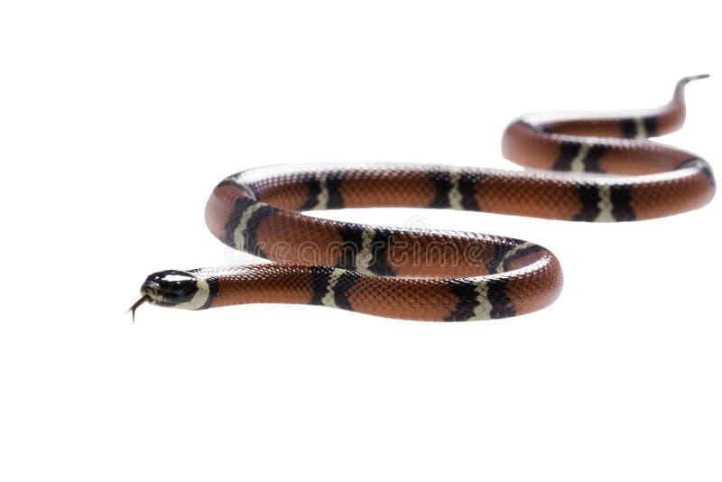 Serpiente de leche de Sinaloan en el fondo blanco foto de archivo