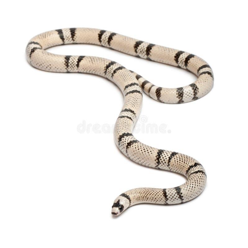 Serpiente de leche del Honduran del fantasma, Lampropeltis foto de archivo libre de regalías
