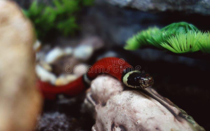 Serpiente de leche de Sinaloan que explora su nuevo territorio imagenes de archivo