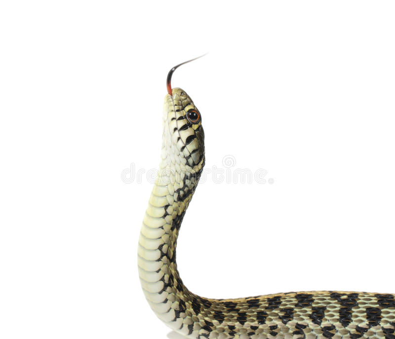 Serpiente de liga fotos de archivo libres de regalías