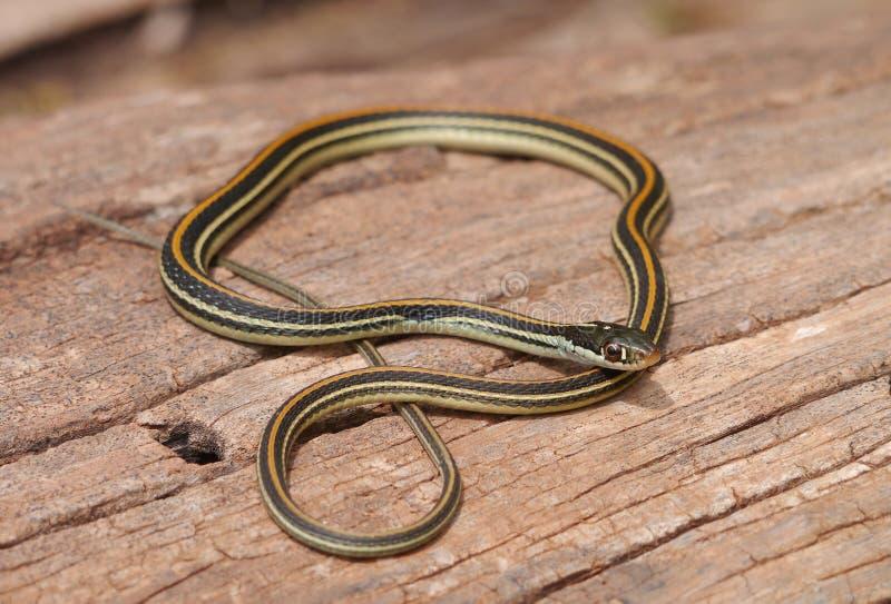Serpiente de liga común (sirtalis del Thamnophis) fotos de archivo libres de regalías