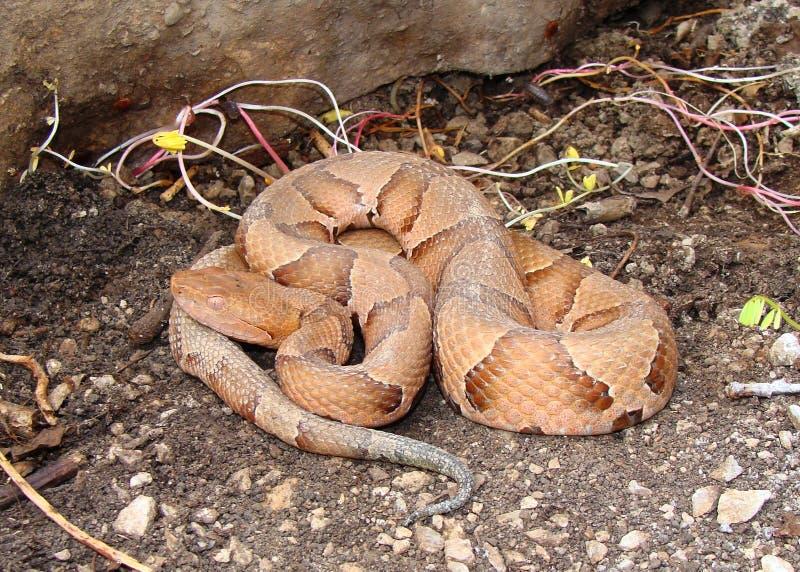 Serpiente de Osage Copperhead, contortrix del Agkistrodon imagen de archivo