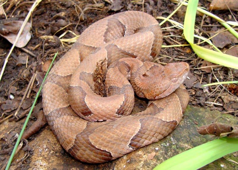Serpiente de Osage Copperhead, contortrix del Agkistrodon fotografía de archivo