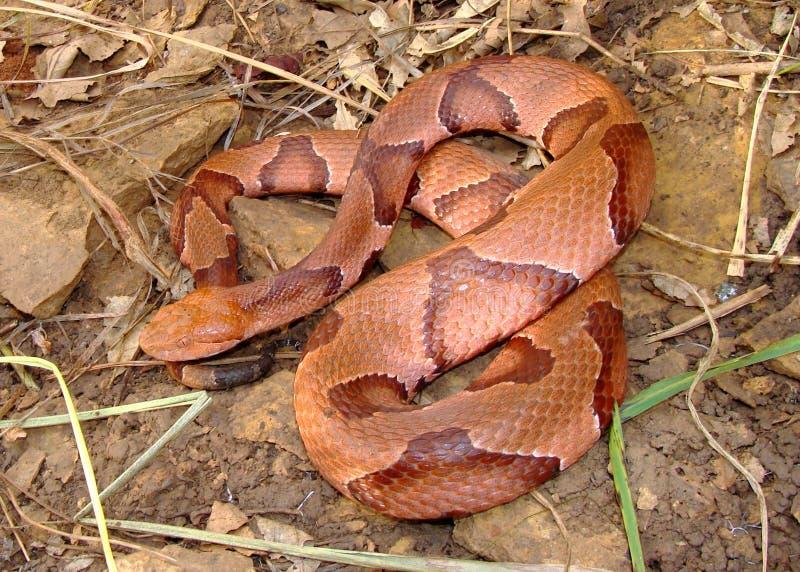 Serpiente de Osage Copperhead enrollada fotos de archivo