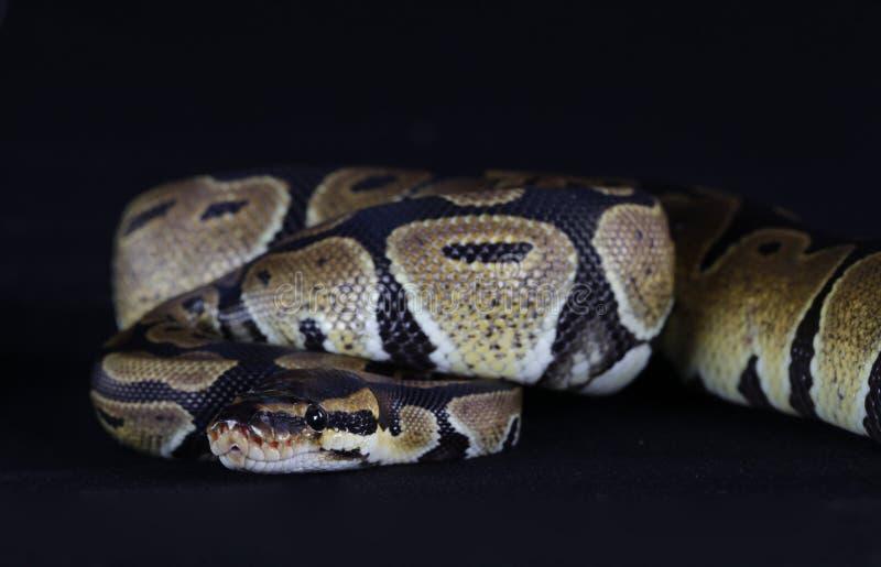 Serpiente de Python imagen de archivo