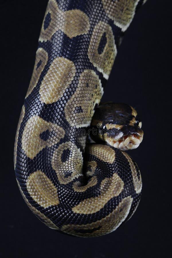 Serpiente de Pythonball imagenes de archivo