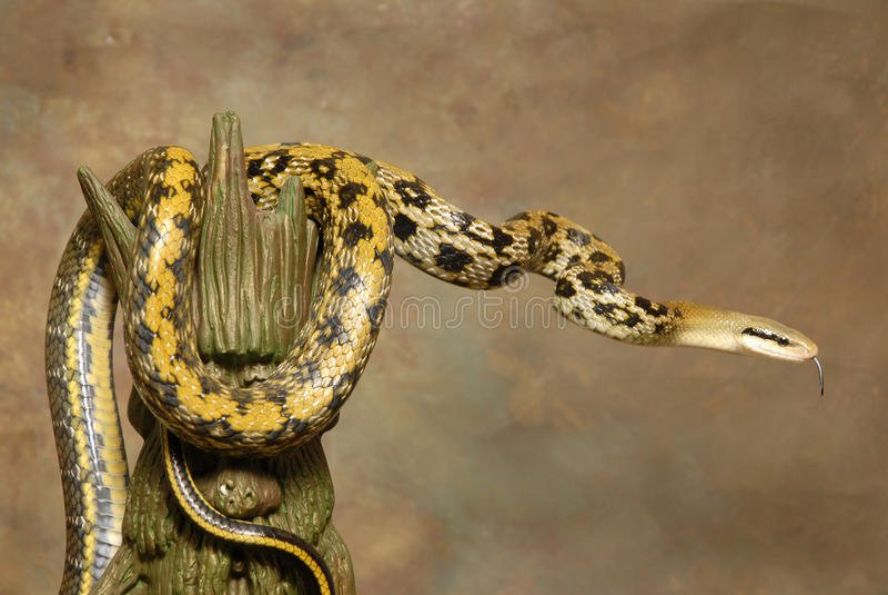 Serpiente de rata de la belleza de Taiwán en Brown foto de archivo
