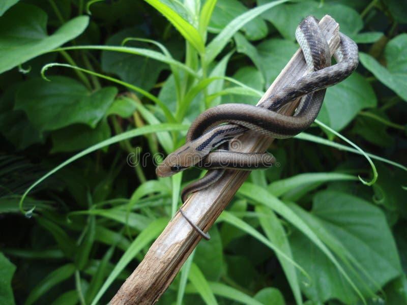 Serpiente de rata del bebé fotografía de archivo libre de regalías