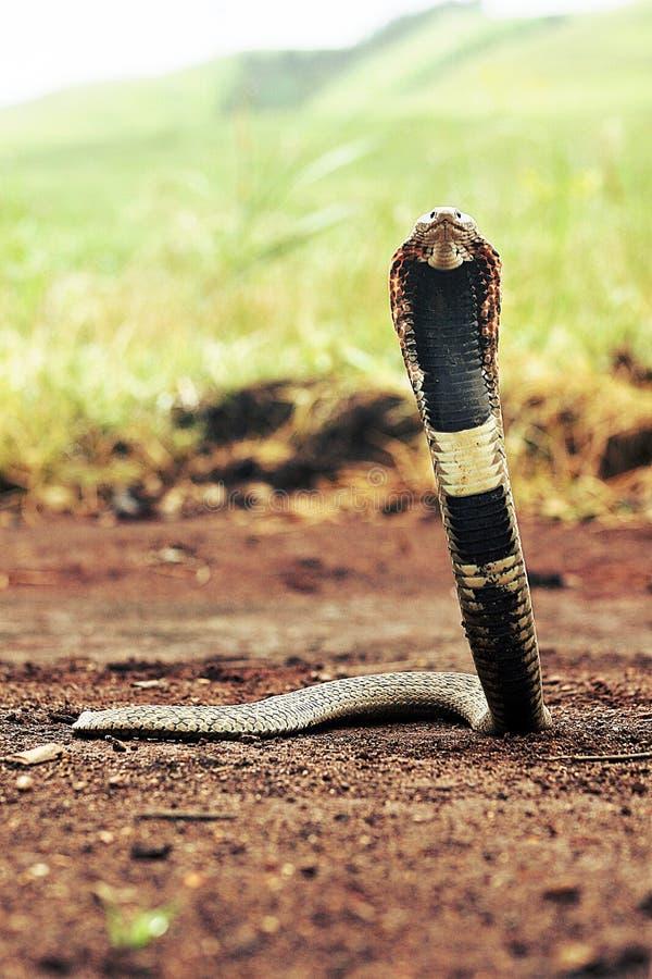Serpiente de Rhinkhals foto de archivo libre de regalías