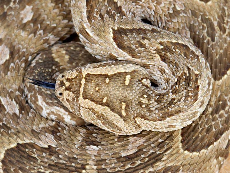 Serpiente de soplo imagenes de archivo