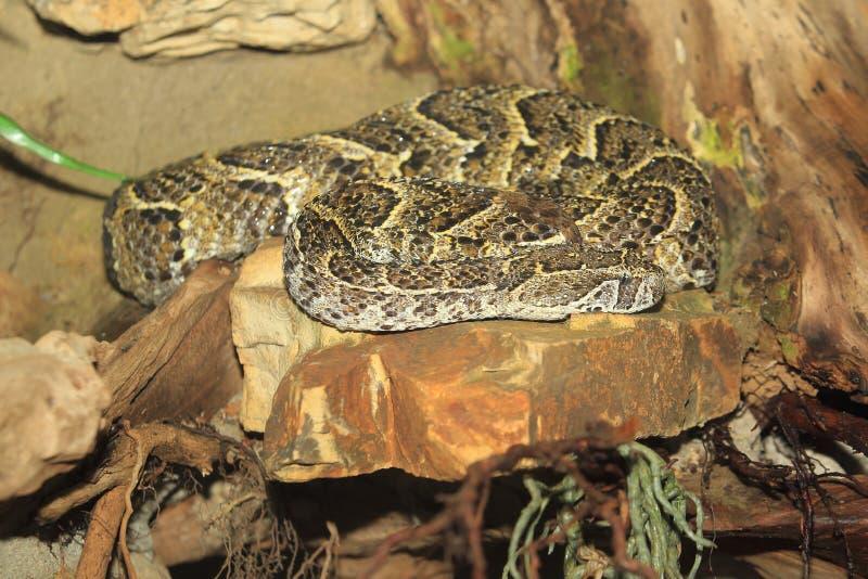Serpiente de soplo fotografía de archivo libre de regalías
