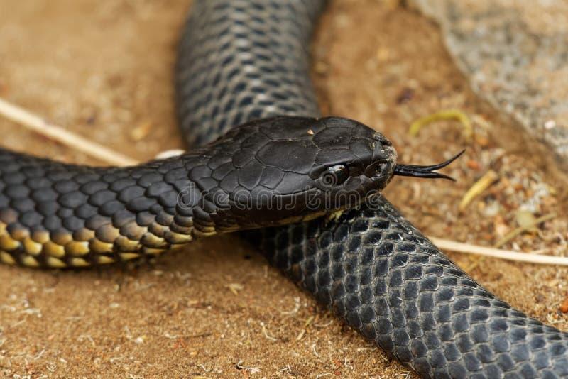 Serpiente de tigre - especie de la serpiente altamente venenosa del scutatus del Notechis encontrada en Australia, Tasmania Estas foto de archivo libre de regalías