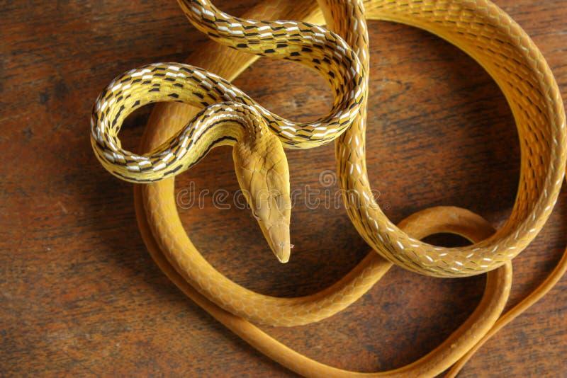 Serpiente de vid imagenes de archivo
