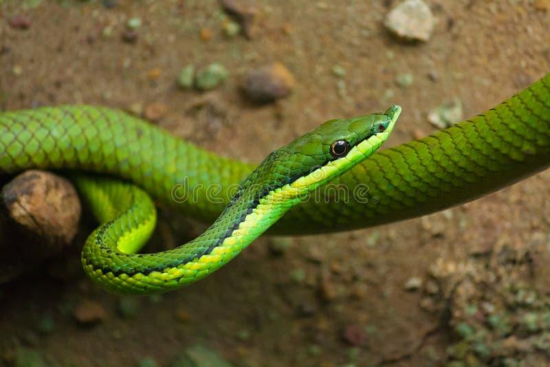 Serpiente de vid verde imágenes de archivo libres de regalías