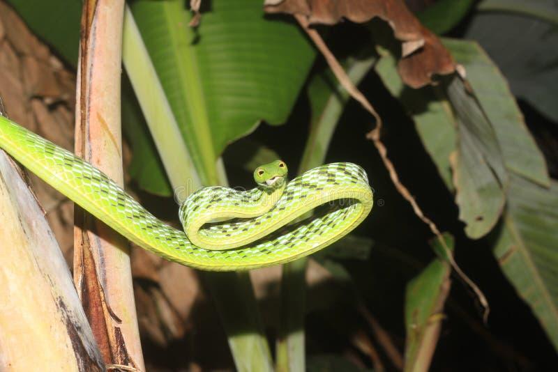 Serpiente de vid verde y x28; nasuta& x29 del aheuttella; fotos de archivo