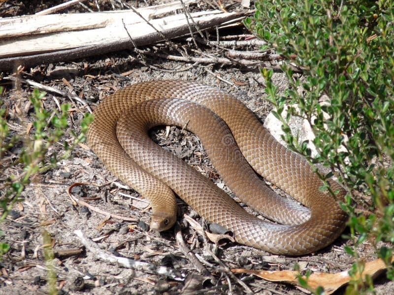 Serpiente del este de Brown imagen de archivo