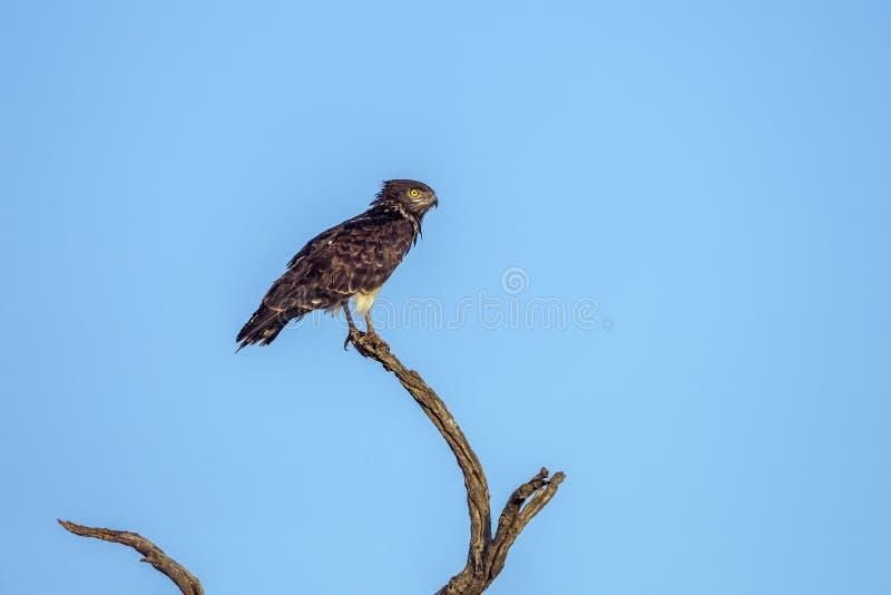 Serpiente-Eagle Negro-de pecho en el parque nacional de Kruger, Sur?frica foto de archivo