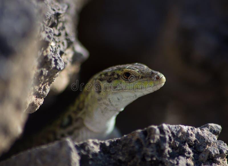 Serpiente en el hábito de la naturaleza, mirada peligrosa de la serpiente imagenes de archivo