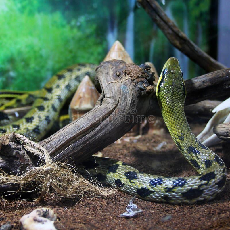 Serpiente en el terrario imagenes de archivo