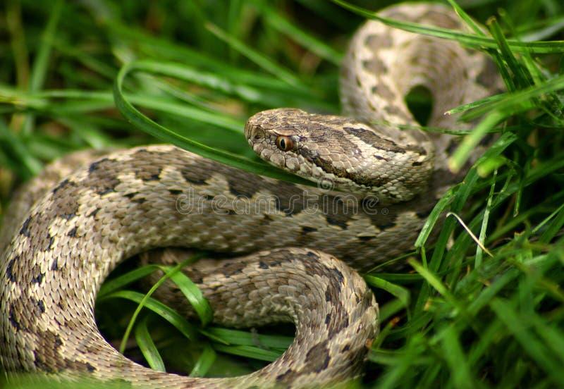 Serpiente en hierba imagenes de archivo