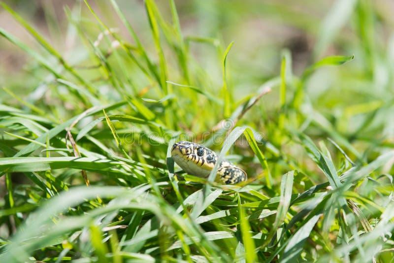 Serpiente en la hierba fotos de archivo