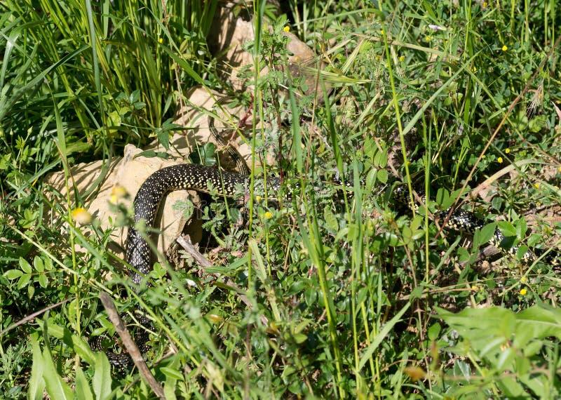 Serpiente en la hierba Whip Snake verde, blanco Viridifla de Hierophis foto de archivo libre de regalías