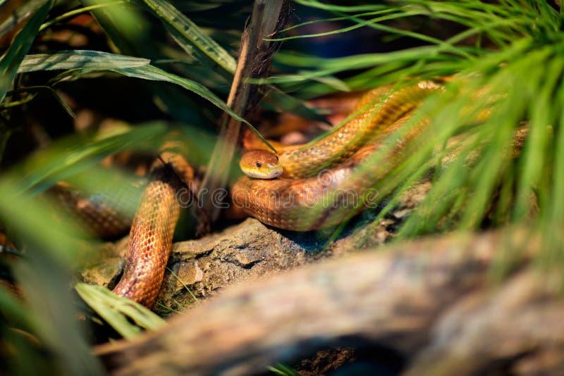 Serpiente en un terrario fotografía de archivo libre de regalías